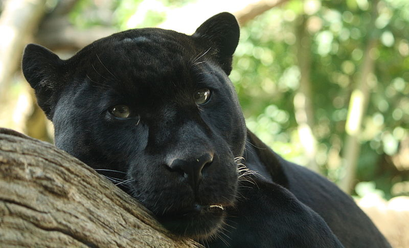 So You Say You Saw A Black Panther Here S Why I Don T Believe You Guest Post Living Alongside Wildlife